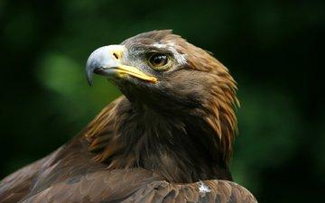 орел, хищник, птица, клюв, беркут, голова, aquila chrysaetos