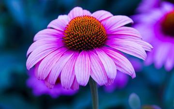 цветы, макро, лепестки, размытость, эхинацея
