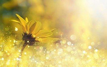 цветок, боке, маргаритка