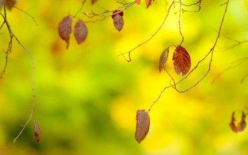 листья, макро, ветки, осень, размытость