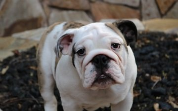 мордочка, взгляд, собака, бульдог, английский бульдог