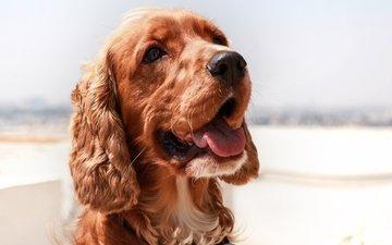 мордочка, взгляд, собака, щенок, язык, английский, спаниель, кокер-спаниель