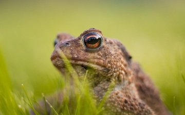 eyes, grass, frog, animal