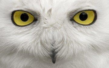 глаза, сова, взгляд, птица, клюв, перья, полярная сова, белая сова