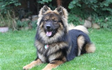 grass, look, dog, language, lying, the eurasier