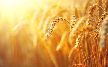 макро, поле, колосья, пшеница, злаки