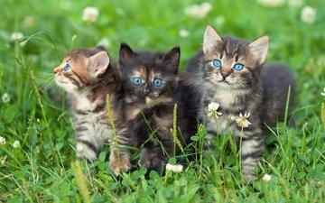 grass, clover, look, cats, kittens, blue eyes, faces