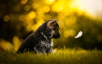 grass, dog, puppy, profile, german shepherd, a feather