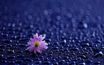 flower, drops, petals, rain, water drops