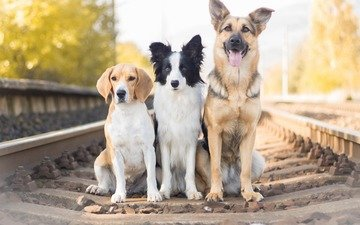 railroad, rails, look, dogs, faces, german shepherd, beagle, the border collie