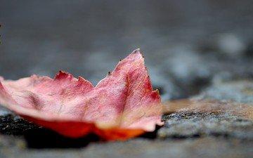 природа, макро, осень, лист, кленовый лист