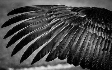 чёрно-белое, птица, перья, крыло