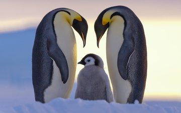 птенец, снег, птицы, пингвины, dr. claus possberg