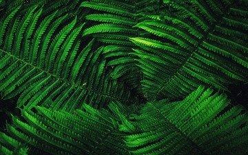 leaves, plant, fern