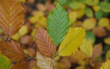 листья, макро, осень, вяз