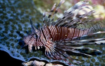 море, рыба, подводный мир, крылатка, рыба лев, крылатка-зебра