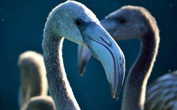 фламинго, птицы, клюв, шея