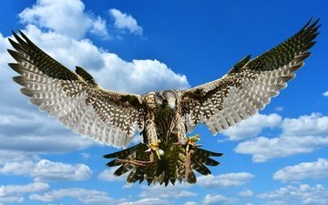 небо, облака, полет, крылья, хищник, птица, сокол