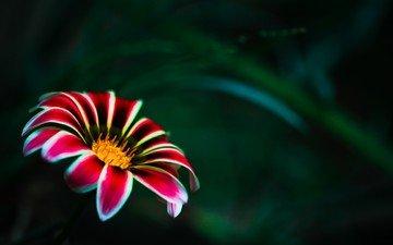 цветок, лепестки, размытость, газания