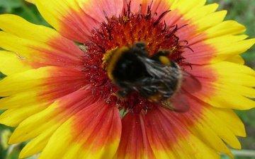 насекомое, цветок, лепестки, шмель, гайлардия, gaillardia