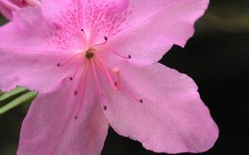 цветок, лепестки, азалия