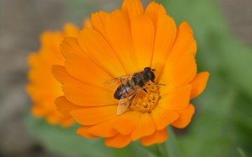 макро, насекомое, цветок, лепестки, крылья, пчела, календула, ноготки