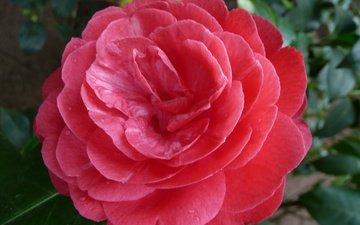flower, petals, camellia