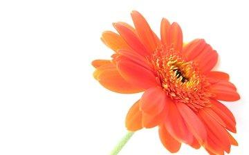 цветок, лепестки, белый фон, гербера