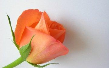 цветок, роза, лепестки, бутон, белый фон, крупным планом
