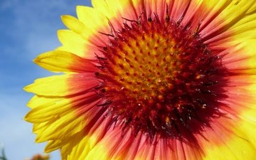 the sky, macro, flower, petals, gaylardiya