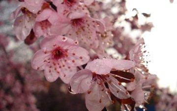 blüte, frühling, kirsche, wassertropfen