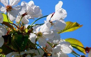 himmel, blumen, blüte, blütenblätter, frühling, kirsche