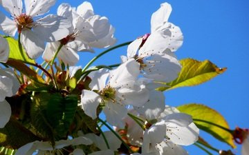 the sky, flowers, flowering, petals, spring, cherry