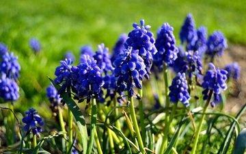 цветы, весна, мускари