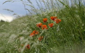 the sky, flowers, grass, plants, red, meadow, mac, spikelets