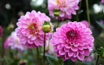 blumen, knospen, blütenblätter, rosa, dahlien