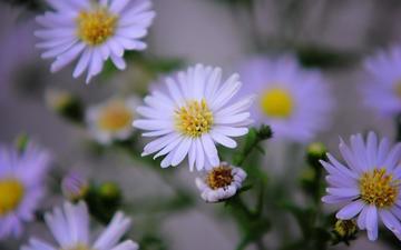 flowers, petals, chamomile, white