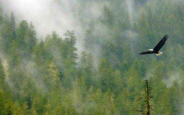 деревья, лес, полет, туман, крылья, птица, белоголовый орлан
