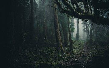 trees, forest, fog, foliage