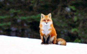 снег, мордочка, взгляд, лиса, хищник, лисица, хвост