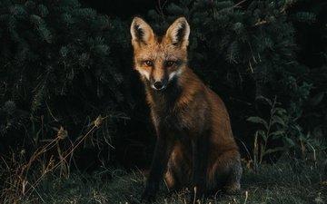 трава, мордочка, взгляд, лиса, хищник, лисица