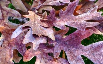 leaves, frost, autumn, oak