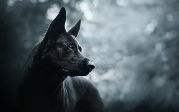 морда, собака, черная, немецкая овчарка