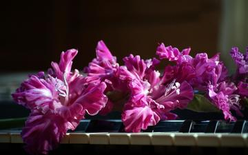 flowers, pink, piano, keys, gladiolus