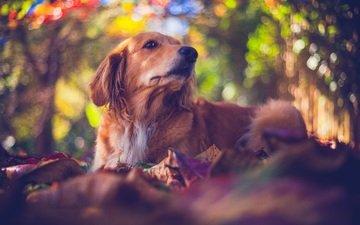 природа, мордочка, взгляд, собака, боке, золотистый ретривер