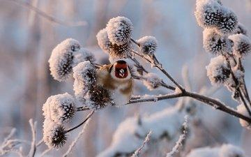 снег, растения, зима, птица, щегол