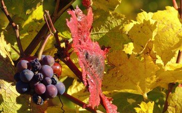 leaves, grapes, autumn