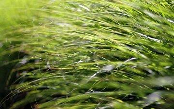 gras, natur, makro, closeup