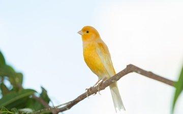 ветка, дерево, птица, клюв, перья, зяблик, grassland yellow finch
