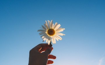 hand, flower, petals, daisy, blue sky